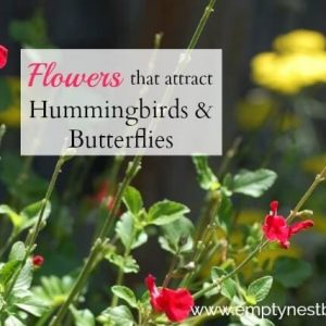 Salvias for hummingbirds and butterflies