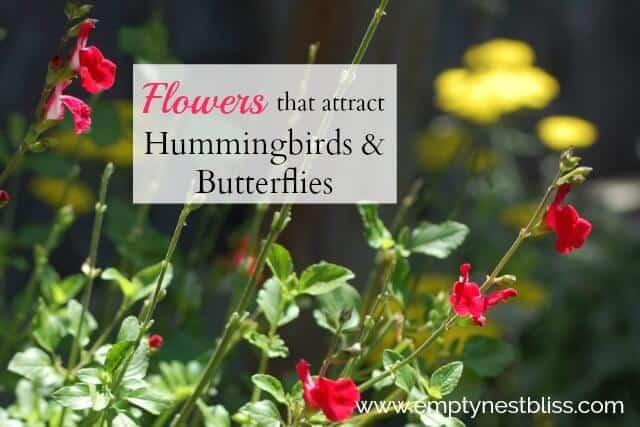 Salvias for hummingbirds and butterflies