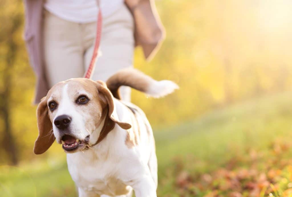 A daily walk with your dog has great health benefits.
